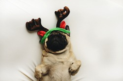 Pug dog in Christmas costume lying on white