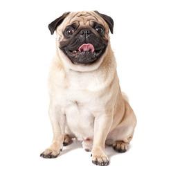 Pug dog isolated on a white background