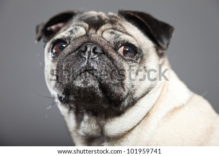 Pug dog isolated on grey background. Studio shot.