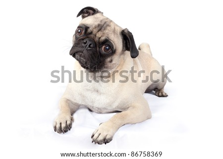 Pug Dog Looking Curious and Cute