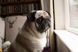 Pug dog looking out window. Pet home alone waiting for owner, separation anxiety, lonely