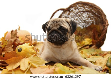Pug Dog on a background of autumn leaves and baskets