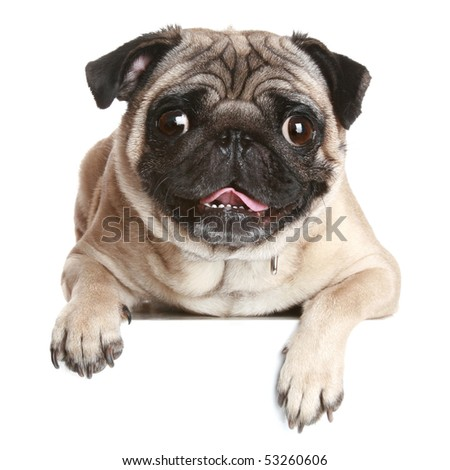 Pug dog on white banner