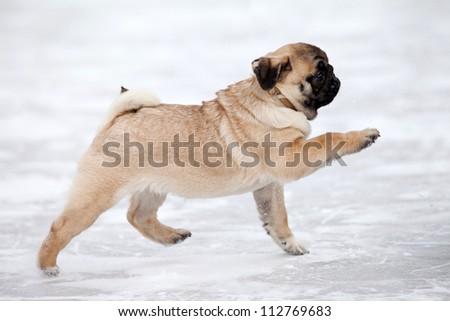 Pug dog on white snow