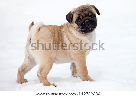 Pug dog on white snow