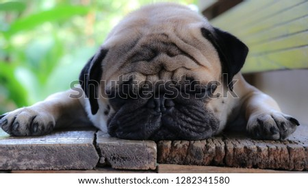 Pug dog pictures are lying on a wooden chair.