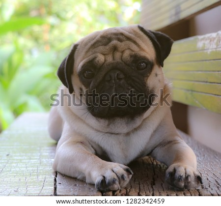 Pug dog pictures on wooden chairs