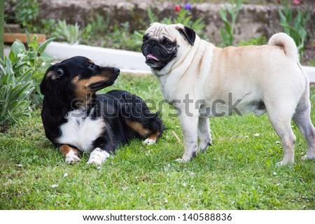 pug dog play