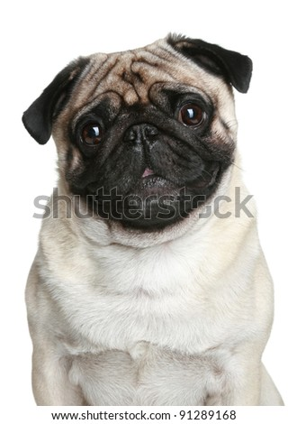 Pug dog portrait over white background