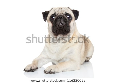 Pug dog posing on white background