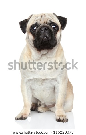 Pug dog sits on a white background