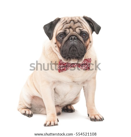 Pug dog sitting on it wearing a red patterned butterfly isolated on white background. Picture for printed materials and backgrounds.