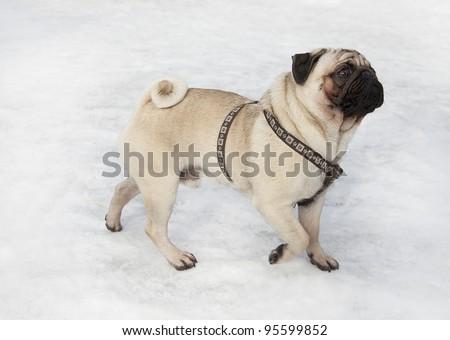 pug dog walking on snow, pug dog