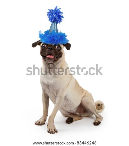 Pug dog wearing a blue sparkly birthday party hat with feathers and a pom-pon