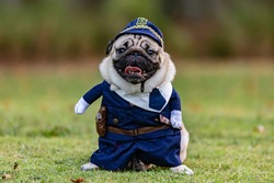 Pug dog wearing police uniform standing on green grass with happiness and having fun with sunset,Police dog  Concept