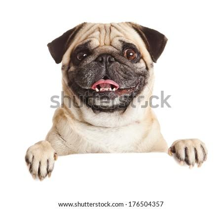 Pug Dog with blank billboard. Dog above banner or sign. Pug dog portrait over white background