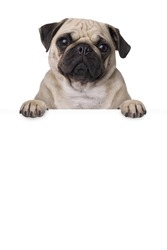 pug dog with bunner isolated on white background