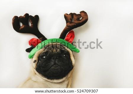 Pug dog with Christmas horns on white