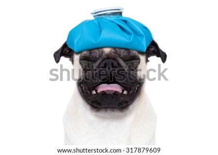 pug  dog  with  headache and hangover with ice bag or ice pack on head,  suffering and crying ,  isolated on white background,