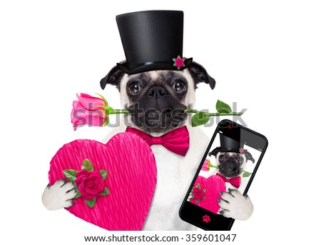 pug  dog with valentines rose in mouth  holding a gift or present and taking a selfie with smartphone isolated on white background