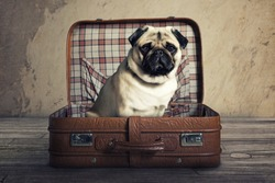 Pug in a Suitcase