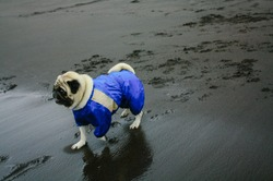 Pug in blue overalls on the beach with dark sand in cloudy weather