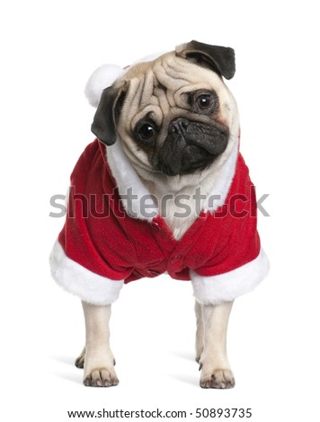 Pug in Santa coat, 1 year old, standing in front of white background