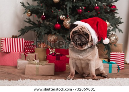 pug in santa hat sitting under christmas tree with gifts