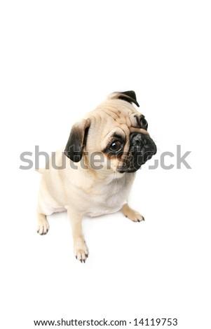 Pug isolated on white background.
