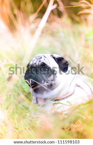 Pug lying in high grass