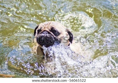 Pug making a big splash trying to swim at a dog park on a sunny day.