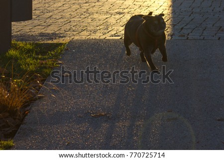pug mops named adelheid on a christmas december afternoon park in a historical city of south germany near cities of munich and stuttgart