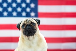 Pug on the background of the American flag. Beautiful beige puppy pug on the background of the American flag on Independence Day.