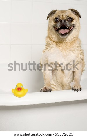 Pug-pomeranian in the bath tub
