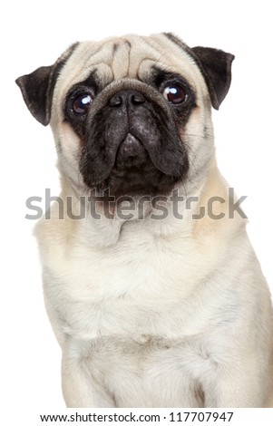 Pug portrait. isolated on a white background