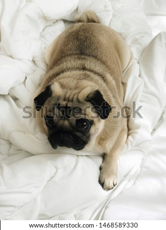 pug, pug puppy, puppy, cute puppy, sleepy puppy