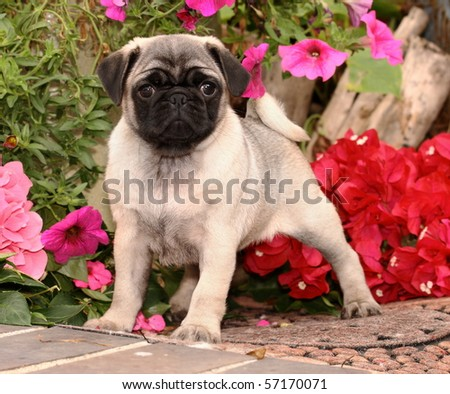 Pug Puppy And Flowers