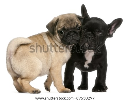 Pug puppy and French Bulldog puppy, 8 weeks old, hugging in front of white background