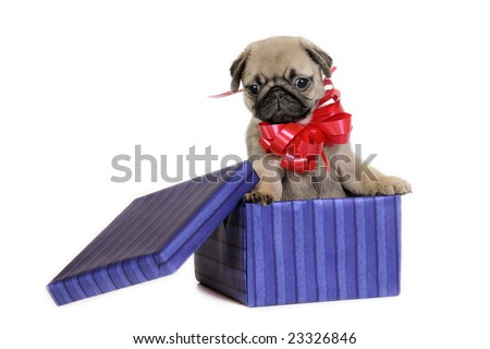 Pug puppy in a gift box.