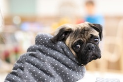 Pug Puppy in a Thick Sweater Looking Perplexed and Forlorn