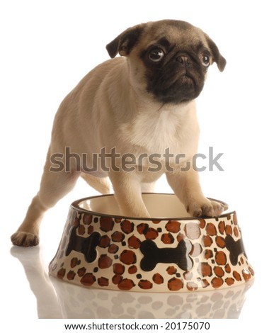 pug puppy in empty food dish isolated on a white background