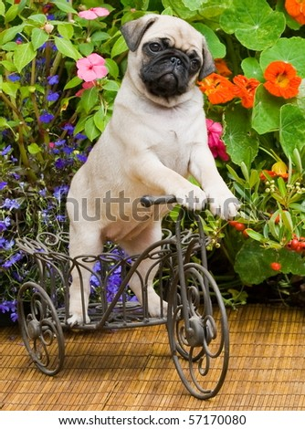 Pug Puppy Riding  A Tricycle - stock photo