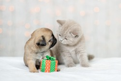 Pug puppy sniffs baby kitten. Pets sit together with a gift box at home