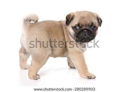 Pug puppy standing and looking at the camera (isolated on white)