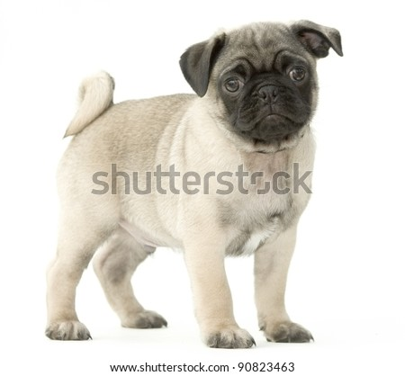 Pug Puppy 8 Weeks Old on White Background - stock photo