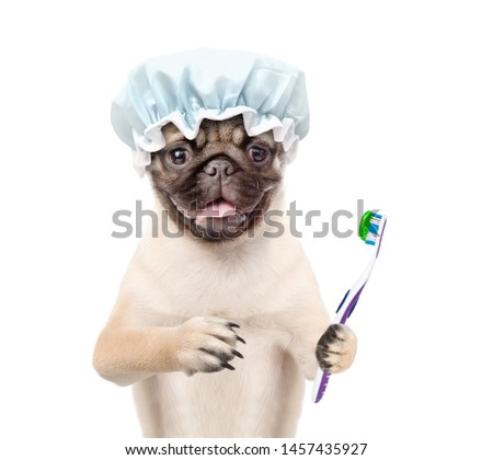 Pug puppy with shower cap holding   toothbrush with toothpaste. isolated on white background
