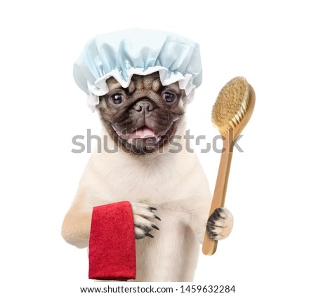 Pug puppy with shower cap holding towel and bath brush. isolated on white background