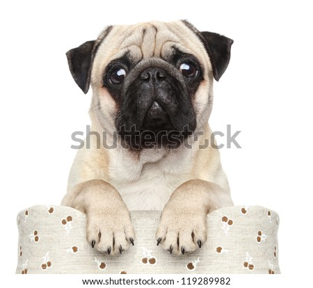 Pug sits in basket on a white background