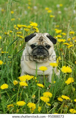 Pug sitting in a field of dandelions