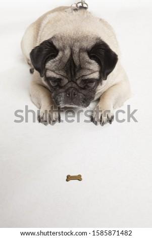 Pug staring at dog biscuit, studio shot
